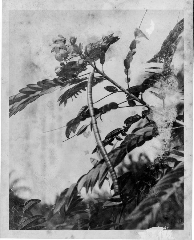 Cassia Spectabilis Tree in Flower